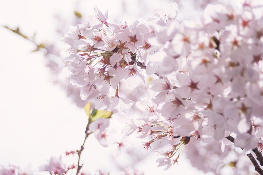 MARI85_awaihikaritopinksakura20120505500