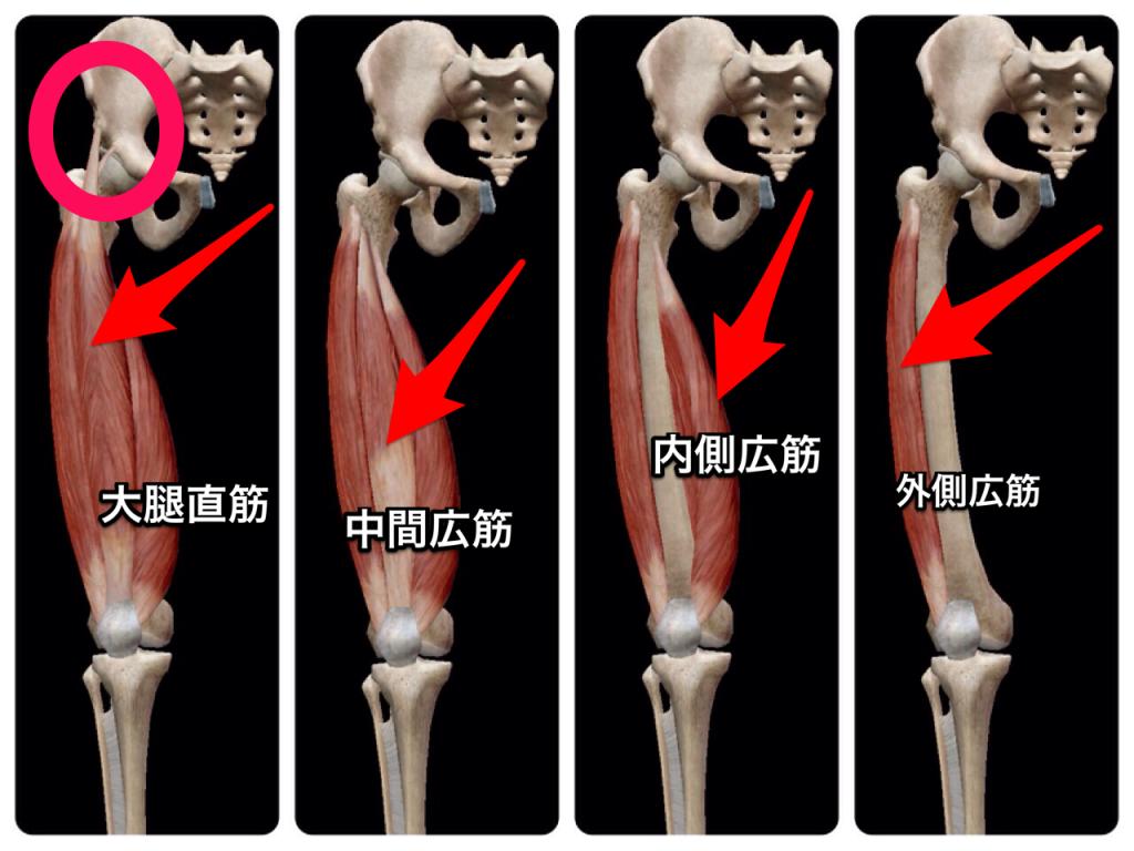 膝伸展筋肉